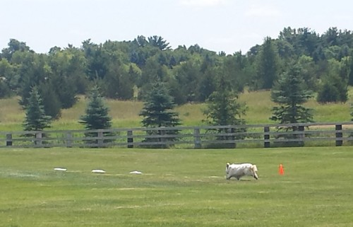 Lure Coursing 1