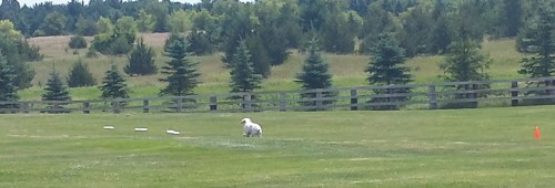 Lure Coursing 2