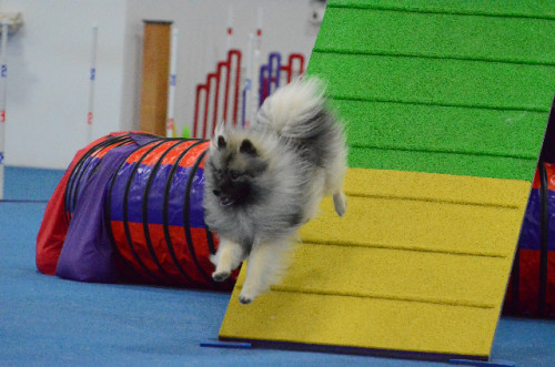 Sadie Agility Action June 2014
