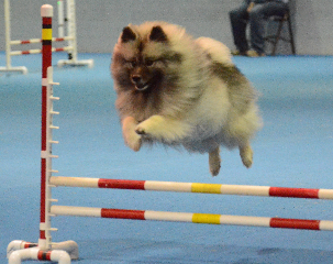 Sadie Agility Title CL1 March 2014