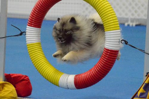 Sadie Through the Tire Jump June 2014