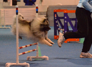 Sadie's First Agility Trial CPE Qualified Standard + Jumpers Jan 2013