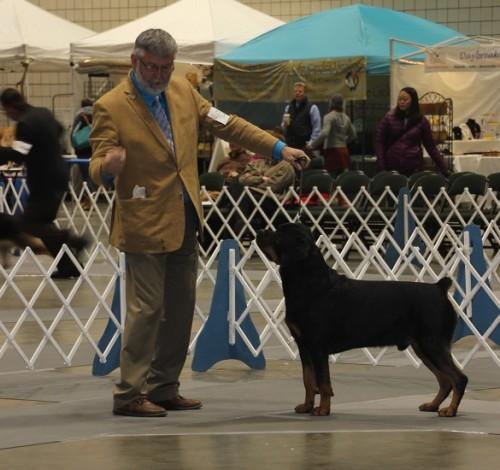 Rottweiler Conformation