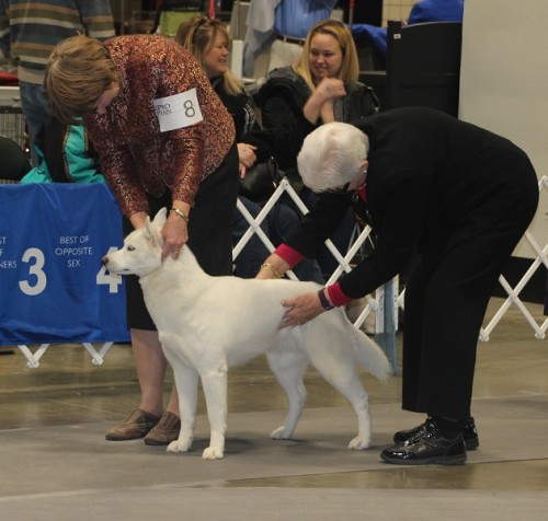 White Siberian with Judge