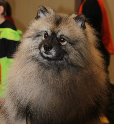 Trek the Keeshond waiting for show time