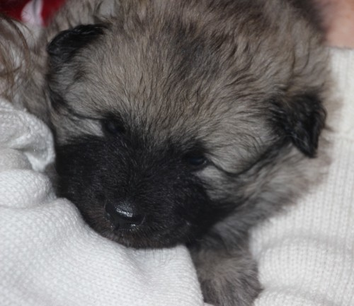 Keeshond puppy snuggling on sweater