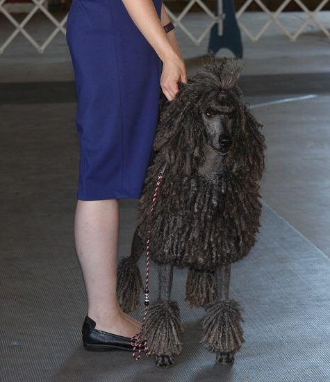 a-corded-poodle-2