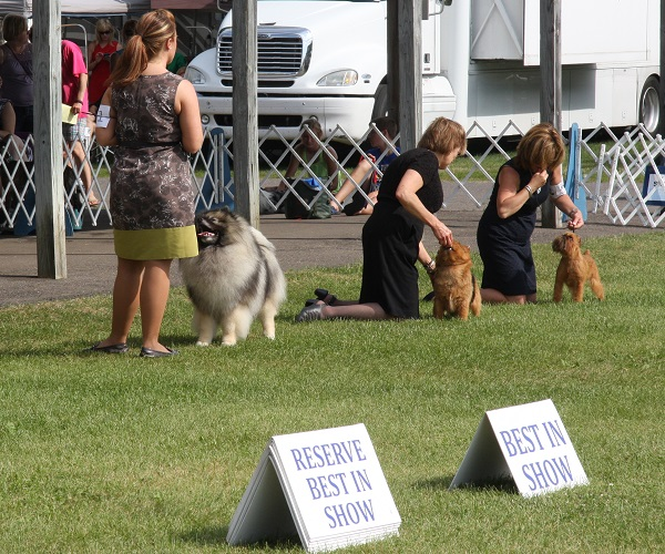 keeshond-showing-well